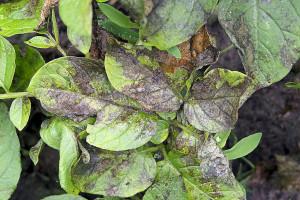 Plamenjača napada krompir i paradajz - zaštitite ih