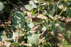 Plamenjača krompira - simptomi i preventivne, hemijske i eko mjere zaštite