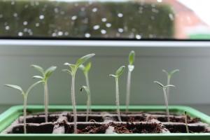 Kako uzgojiti dobre presadnice povrća