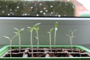 Kako uzgojiti dobar rasad povrća
