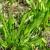 Lekovita uskolisna bokvica: Biljka buntovnica prilagodljiva klimatskim promenama