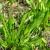 Ljekoviti uskolisni trputac: Biljka buntovnica prilagodljiva klimatskim promjenama