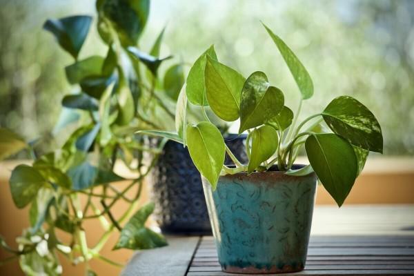 Zlatni puzavac - lako uzgojiva sobna biljka koja uklanja toksine iz zraka