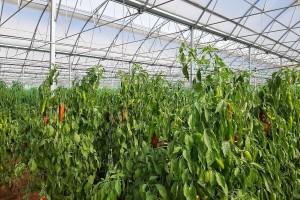 Turski marš u proizvodnji povrća - 56.000 ha prekriveno plastenicima