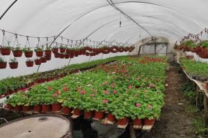 Cene repromaterijala rastu, a cena cveća ostaje ista - zbog čega?