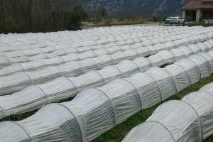 U posao sa jagodama ušao slučajno, danas ima 5.000 sadnica i nastavlja se širiti