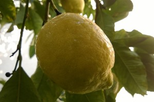 Limun - voćna kultura neiskorištenog potencijala