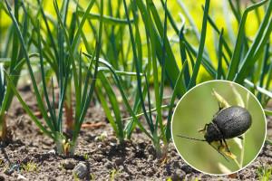 Lukov listojed - mala larva, velika štetočina