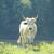 Nekoć najzastupljenija pasmina danas je ugrožena, u Hrvatskoj tek 201 krava slavonsko-srijemskog podolca