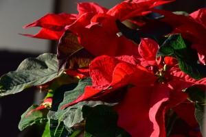 Pravilno njegujte sobno cvijeće i zimi