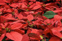 Božićne biljke za ljepše blagdane