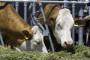 Tko je odgovoran za pojavu aflatoksina u mlijeku?