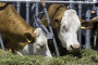 Aflatoksin - od klipa kukuruza do čaše mleka