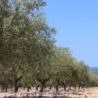 Zaštita masline: Pazite na buhu, trips i cvrčka, ali i na rubnu palež lista