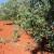 Maslinik: Zelenu masu ostavite na površini tla jer služi za malčiranje nasada