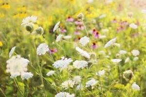 Poljsko cvijeće posijano u usjevima moglo bi smanjiti upotrebu pesticida