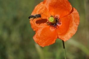 Pomažu pčelama: Podijelili obiteljima kuglice s divljim cvijećem