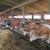Uz više svjetlosti i zraka u stajama do bolje mliječnosti krava
