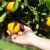 Traže preko 100 berača mandarina i nude satnicu oko 6 KM