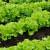 Prolećna setva zelene salate: Uzgoj puterice i kristalke