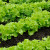 Proljetna sjetva zelene salate: Uzgoj puterice i kristalke