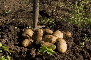 Korisne biljke u vašem vrtu  koje podstiču rast krompira