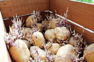 Pravilno naklijavanje i upotreba sečenog krompira za sadnju