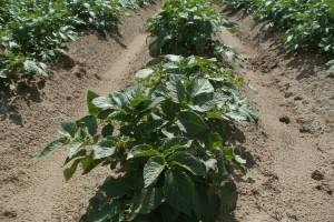 Vrijeme pogoduje razvoju bolesti krumpira i lubenica - kako ih zaštititi?