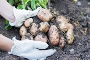 Kako pravilno uskladištiti krompir