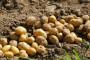 Krompir odlično rodio - cveta izvoz u EU