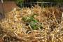 Kako da uzgajate krompir - vertikalno