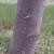Voćni sipac napada uglavnom slaba, iscrpljena stabla voća
