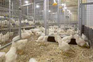Strukturna hrana De Heusa - predvidivost u proizvodnji i bolje zdravstveno stanje živine