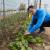 Kombinacije povrća koje bi trebali saditi u bašti