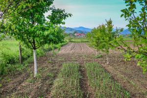 Uzgojite grah, krastavce, krumpir, luk u mladom voćnjaku