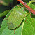 Zelena povrtna stenica - štetočina koja napada povrće, voće i vinovu lozu