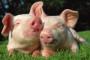 Dobra genetika za uspešan tov svinja
