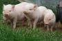 Enzotska pneumonia svinja ili Gripa prasadi