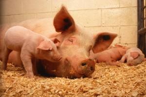 Jodirana sol sprječava gušavost kod domaćih životinja
