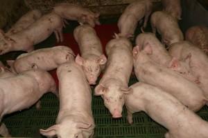 Kako sprečiti pojavu i širenje zaraznih bolesti svinja?