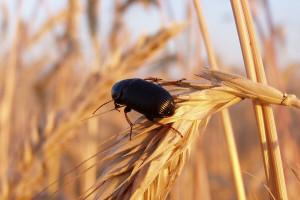Kako od štetočina sačuvati uskladištene žitarice?