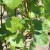 Procena rodnosti vinove loze na osnovu formiranih cvasti