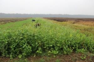 Mjera 16: Može li se sjetvom pokrovnih kultura smanjiti uporaba herbicida u soji?