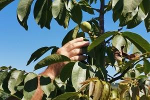 Plodova bilo sve više pa uzeo stvar u svoje ruke - napravio stroj za čišćenje oraha