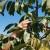 Velike količine oraha očisti lako i do deset puta brže nego ručno