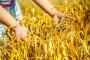 Prosečan rod pšenice, odličan kvalitet zrna