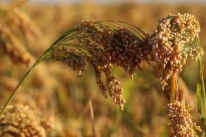 Proso: Zapostavljena žitarica otporna na klimatske promjene