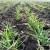 Suzbijanje korova, bolesti i insekata u usevu pšenice i ječma