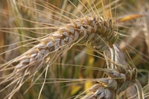 Nemaju dovoljno kombajna pa trećina pšenice još nije požnjevena