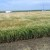 Ratari unatoč suši i koroni odradili odličan posao, čeka nas dobra žetva pšenice?